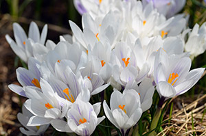A patch of white crocuses was a dramatic highlight in this beautiful garden.