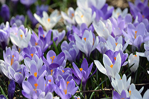 Some of the beauty from the crocus garden is shown.
