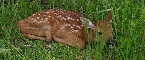 white-tailed deer fawn curled up in tall grass