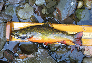 side view of a trout laying on a measuring tape over water and rocks
