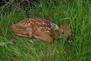 A fawn curled up in the grass
