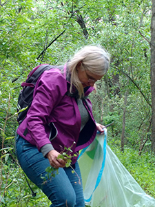 volunteer puts invasive plants into trash bag