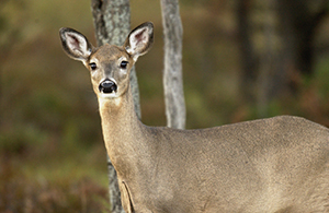 whitetail deer doe in woods