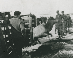 1918 elk release in Pigeon River Country