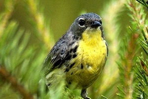 close-up view of a Kirtland's warbler sitting in a jack pine tree