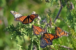 close up view of several monarch butterflies gathered on tree branches