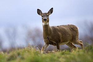 Michigan white-tailed deer in the grass, blue sky in background