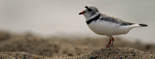 Profile view of a piping plover standing on a sandy Michigan beach