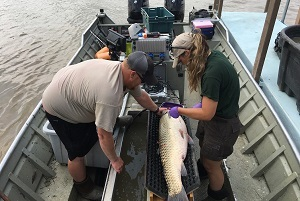 Michigan DNR grass carp crew members Cody Salzmann and Kaitlen Lang tag a grass carp captured from the Maumee River, Ohio