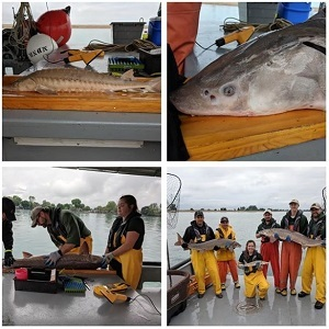 Instagram group of Images of DNR fisheries staff doing lake sturgeon survey work on Lake St. Clair
