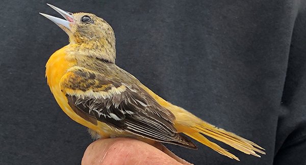 Baltimore oriole in person's hand