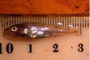 closeup view of walleye fingerling