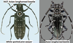 Side by side photos of white spotted pine sawyer and Asian longhorned beetle labeled