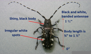 Asian Longhorned Beetle identification 300px