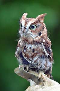 A red-phased Eastern Screech Owl was one of the recent special guests at the Pocket Park.