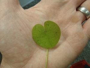 European frogbit leaf in palm of hand