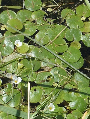 A close-up view of European frogbit floating on the water's surface. Tiny three-petaled white flowers with yellow centers are visible.