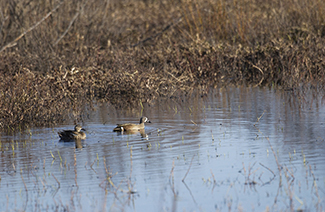 A pair of blue-winged teal is shown.