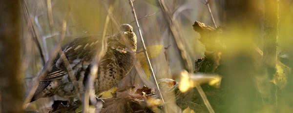 a ruffed grouse perched on a log, viewed through some forest branches, sunlight from the right