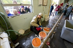 School kids watch through the hatchery window as fisheries technicians collect eggs from fish during the annual fall egg take