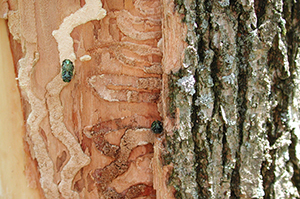 emerald ash borers emerge from an infested tree