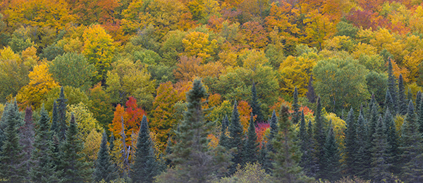 panoramic view of forest in peak fall color