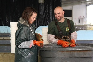 Two DNR fisheries employees, a woman and a man, holding brown trout over a tank at Oden state fish hatchery