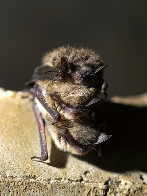 close-up view of a Michigan bat