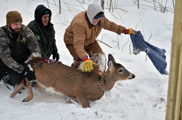 A deer is restrained and fitted with a collar during winter in the Upper Peninsula.