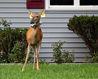 A tagged deer stands on a lawn in front of a home in the Lower Peninsula.