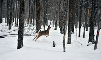 A doe dashes into a snowy woodland after being collared and released.
