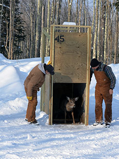 A deer stands at the door of a trap as two researchers look on.