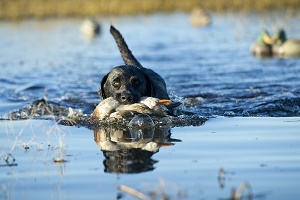 black Labrador retriever with a white duck in his mouth, swimming through blue water, mallard ducks in background