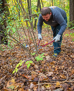volunteer cuts invasive shrub with garden shears
