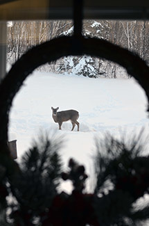 A white-tailed deer is photographed through a holiday wreath frame.