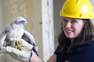 A woman is pictured with a peregrine falcon chick.