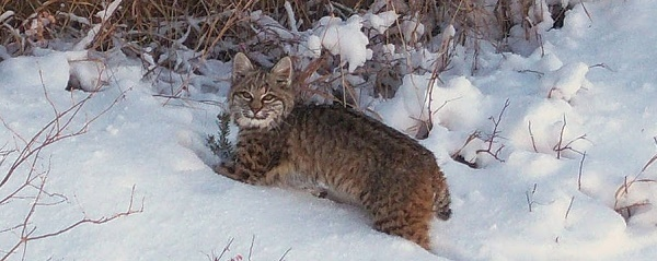 a bobcat, facing the camera, up to his belly in snow, some branches in the background (courtesy USFWS)