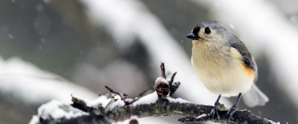 a titmouse sits on a snow-covered branch, while snowflakes fall in the background