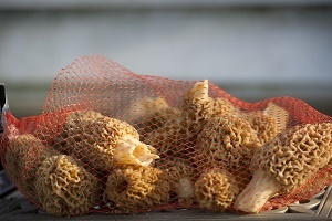 a thin mesh bag full of morel mushrooms