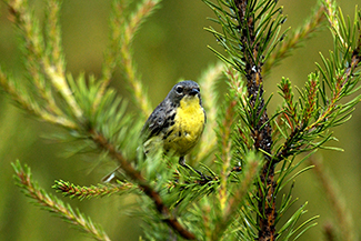 A Kirtland's warbler is shown perched in a jack pine tree.