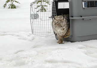 A Canada lynx looks cautiously before leaving a wildlife carrier.