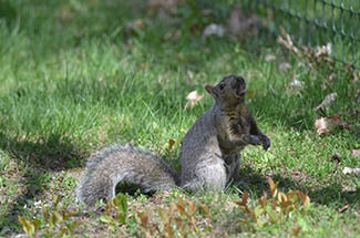 A squirrel is shown on a lawn.