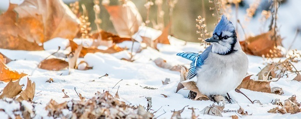 Blue jay in the snow - Blue Jay by Laura Frazier Audubon Photography Awards 2015
