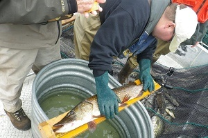 DNR staff on a boat, measuring a pike as part of a lake survey