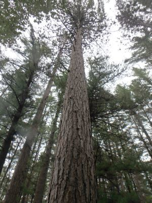 An image of tall trees on the Elk Forest property