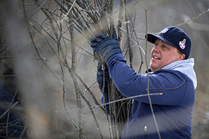 volunteer gathers branches from invasive shrub