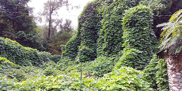 A wide growth of the invasive vine kudzu is shown.