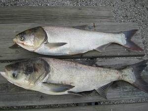 silver and bighead carp
