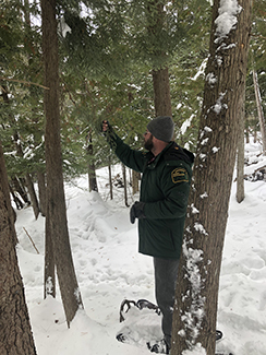 A Michigan DNR forester uses snowshoes to check hemlock trees for invasive species.