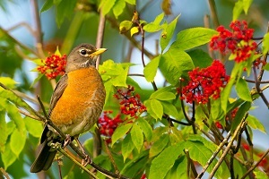 American robin perched in a tree in full bloom, courtesy of Mick Thompson's flickr album